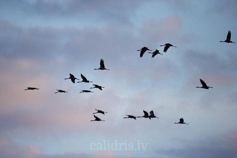 Common cranes in flight / Dzērves lidojumā uz iesarkanu mākoņu fona