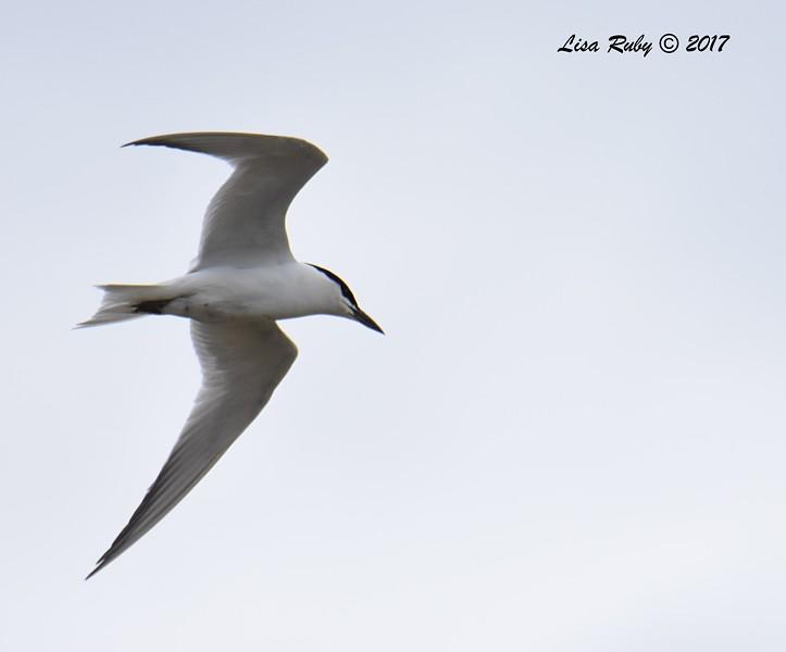 Gull-billed Tern - 5/26/2017 - Bayshore Bikeway