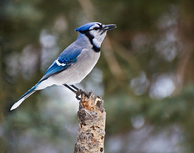 Blue Jay  Taken Jan. 2, 2012 Elk Island Retreat Near Fort Saskatchewan, Alberta