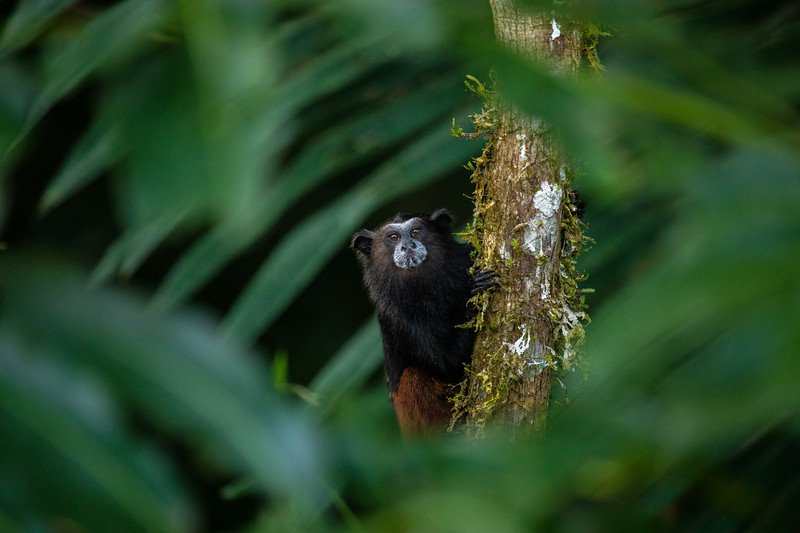 Saddle Back Tamarin.jpg