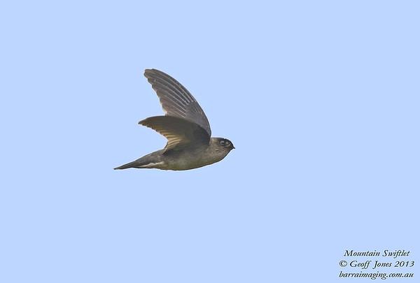 Swifts, Swiflets & NeedletailsFamily Apodidae