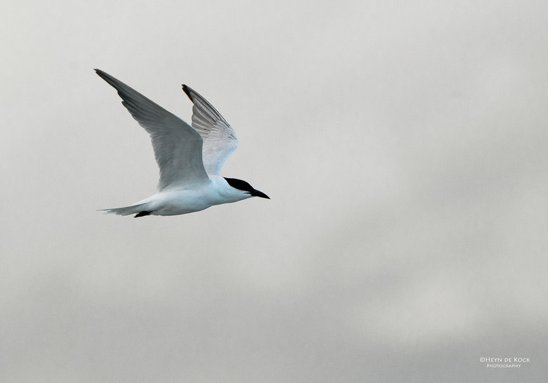 Gull-billed Tern, Lake Woolumbulla, NSW, Aus, Apr 2013.jpg