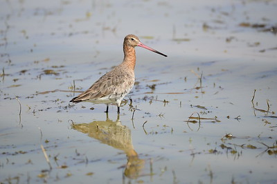 Sandpipers and Allies / Regenpfeifer - Scolopacidae