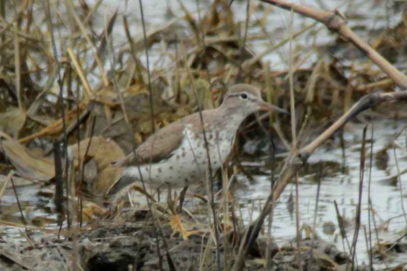 Spotted Sandpiper @ Clarence Cannon NWR