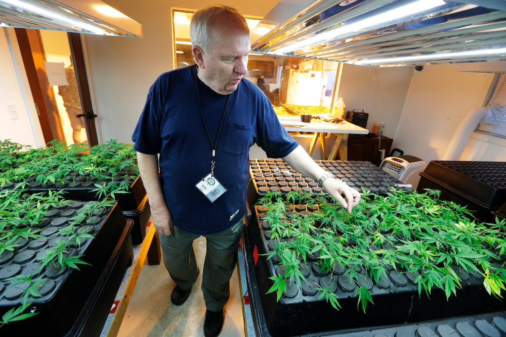 ". In this July 1, 2014, photo, Bob Leeds, owner of Sea of Green Farms, a recreational pot grower and processor in Seattle, inspects small ""clone\"" plants growing under lights in Seattle. The clones will be grown into full-size plants that produce the sticky \""flower\"" required to make potent recreational marijuana. (AP Photo/Ted S. Warren)"