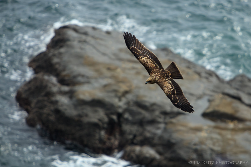 Black Kite - Enoshima Island, Japan