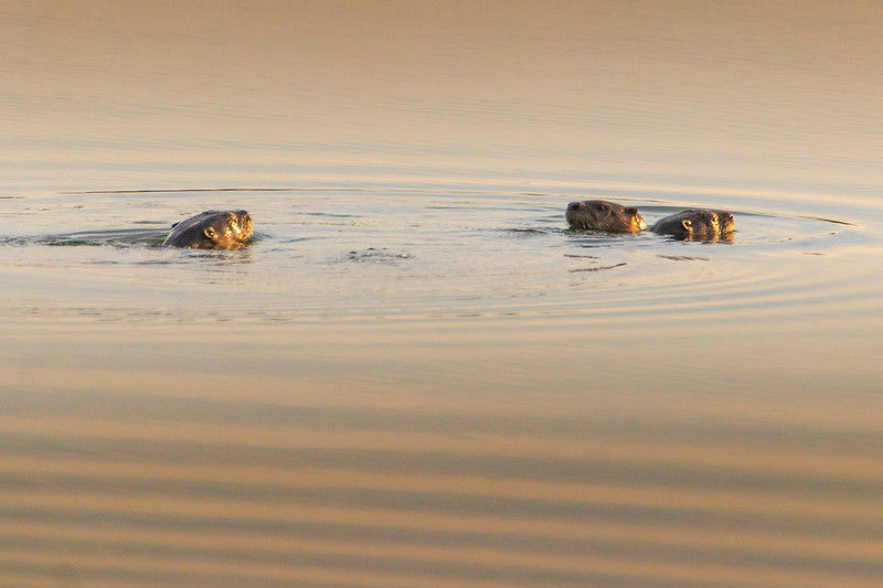 7.9.20 - Beaver Lake Nursery:  3 River Otters are summering at the nursery pond this year.  Amazing creatures!