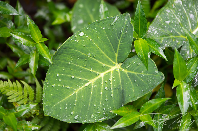 Kalo Rain Drops.jpg