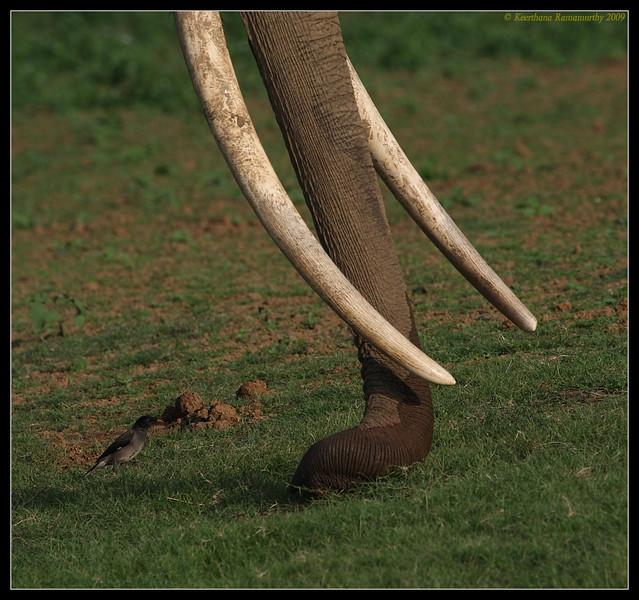 Mighty Tusks & Myna, Kabini, Mysore, Karnataka, India, June 2009