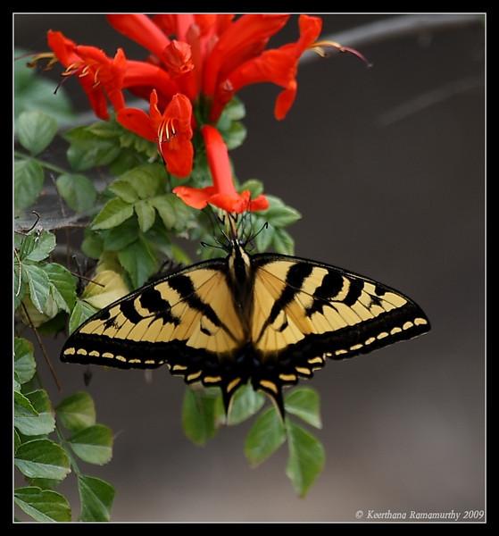 Western Tiger Swallowtail, Bird & Butterfly Garden, San Diego County, California, July 2009