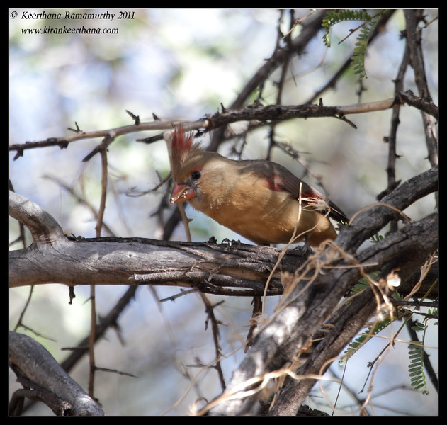 Female Northern Cardinal on the Proctor Road Trail, Madera Canyon, Arizona, November 2011