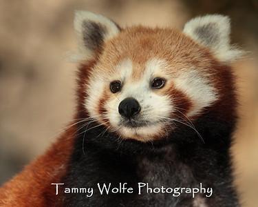 Panda, Red