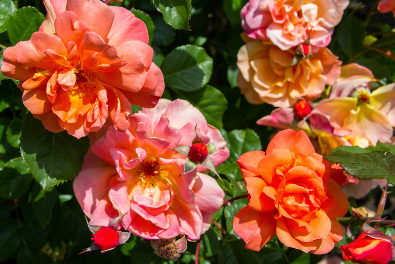 Filoli_Roses-15.jpg