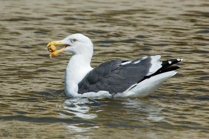 Gull - Western - Pfeiffer Beach - Big Sur, CA