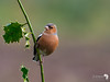 Chaffinch on Holly