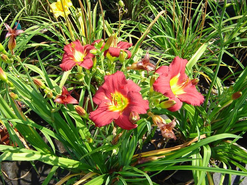 "Hemerocallis 'Pardon Me'   Exposure: Sun - Part Shade; Bloom Color: Red; Bloom Time: Summer; Mature Height: 24"""