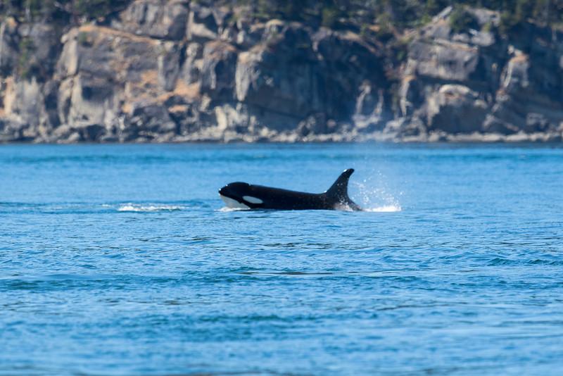Orcas -  073115-272.jpg