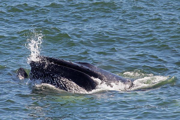 Newfoundland Whales