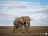 Large Bull in the Serengeti.