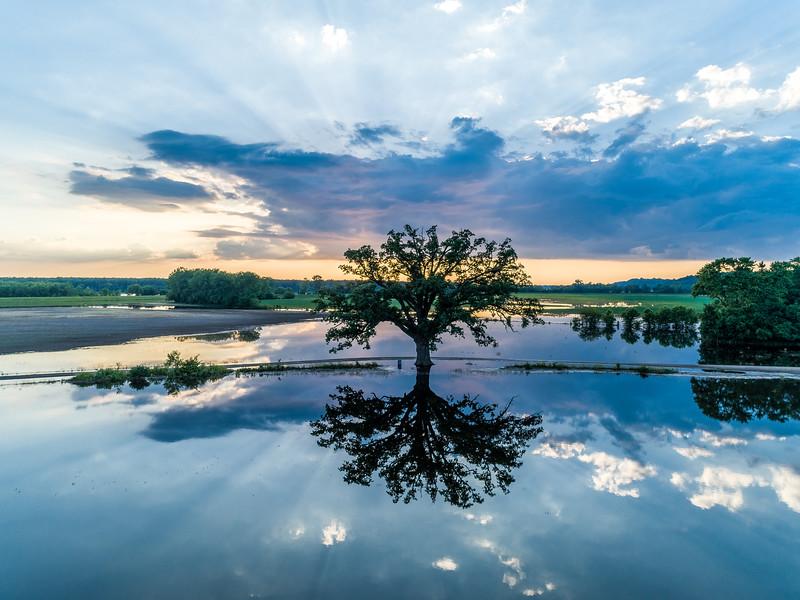 Bur Oak in McBaine, Missouri on 8 June 2019