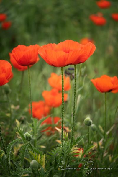 Poppies-05604.jpg