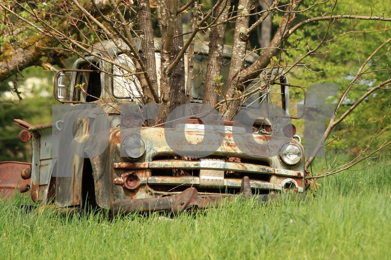 A big leaf maple tree grows thorugh the engine carpartment of a dodge pick up truck.