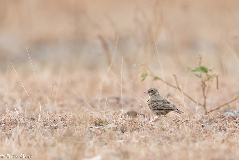 Ashy-crowned Sparrow-Lark female at Mavanalla, Tamil Nadu India (02-25-2015) 058-224.jpg