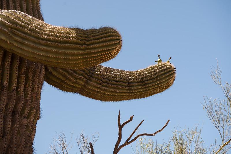 Saguaro Cactus at Phoenix Sonoran Preserve