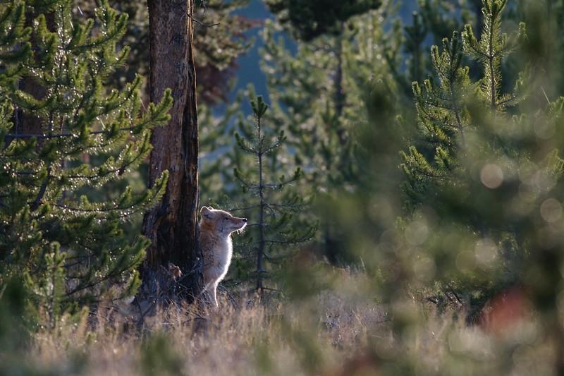Coyote Yellowstone _MG_3858.jpg