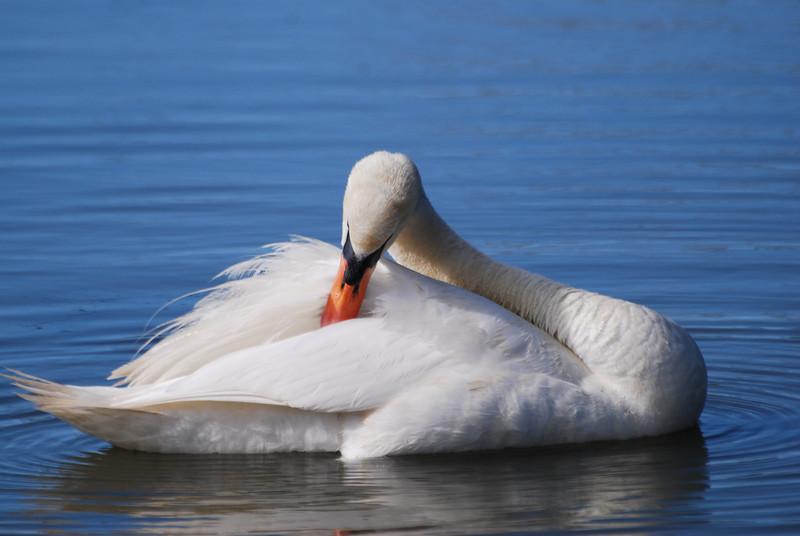 Swan (2).JPG