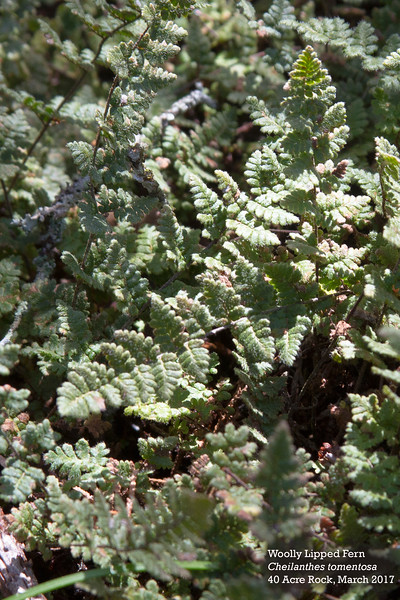 woolly lipped fern.jpg