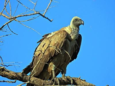 Vultures_ Species Observed
