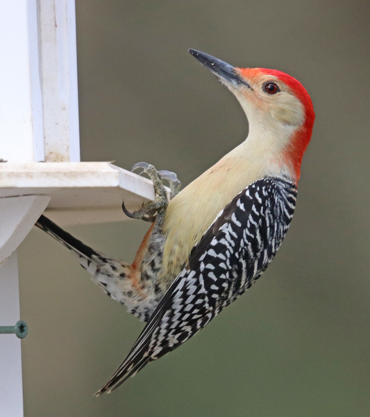 Red-bellied woodpecker 975