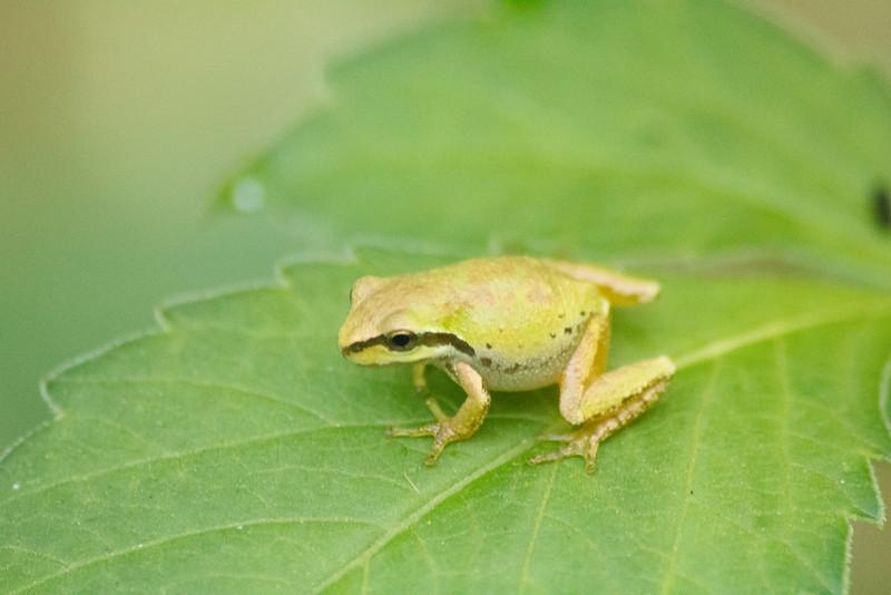 20110903_Frogs0024.jpg