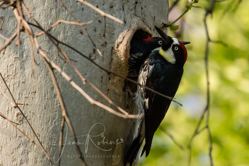Changing of the Acorn Woodpecker Guard, Upper Bidwell Park, Chico CA