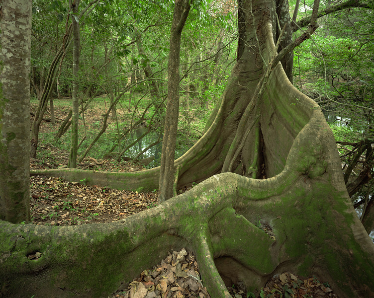 Tamaulipas, Mexico / El Cielo Biosphere Reserve cloud forest, Rio Frio, lined with giant ficus, Ficus sp. with buttressed roots in heavy forest canopy. 204H6