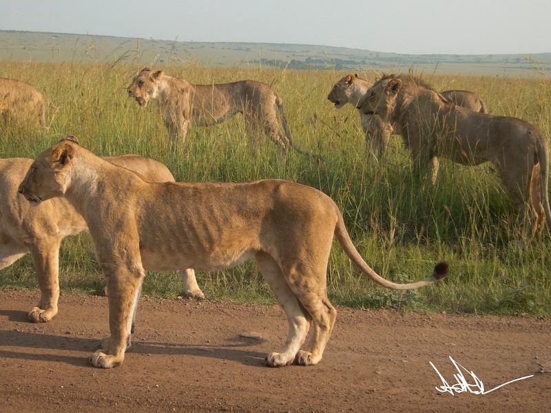 Lions Masai Mara - S-1-2.jpg