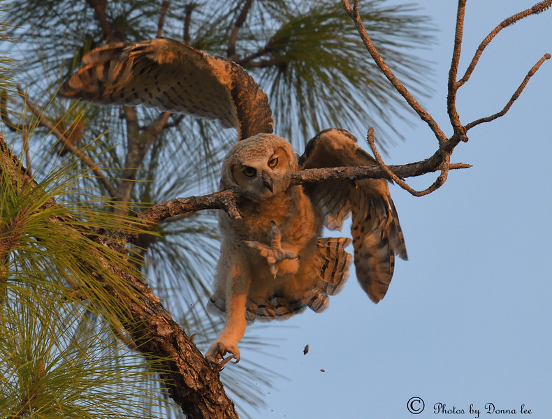 Great Horned Owl fledgling learning