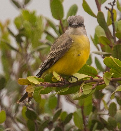 Tropical Kingbird @ FRNC 9-3-18