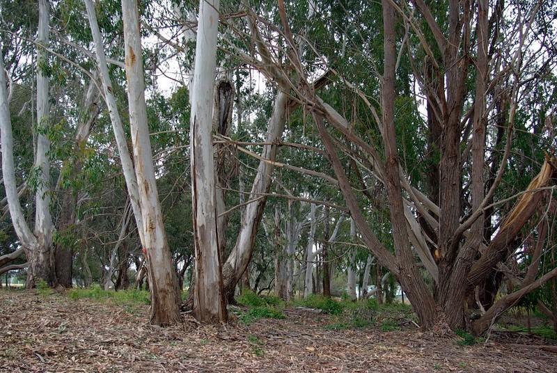 eucalyptus-grove_3996696386_o.jpg