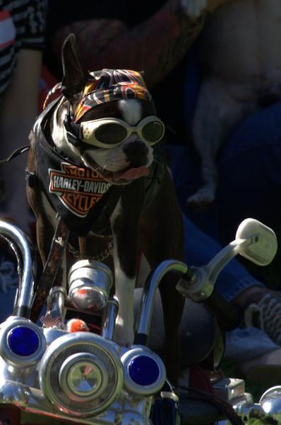boston terrier oct 2010 205.jpg