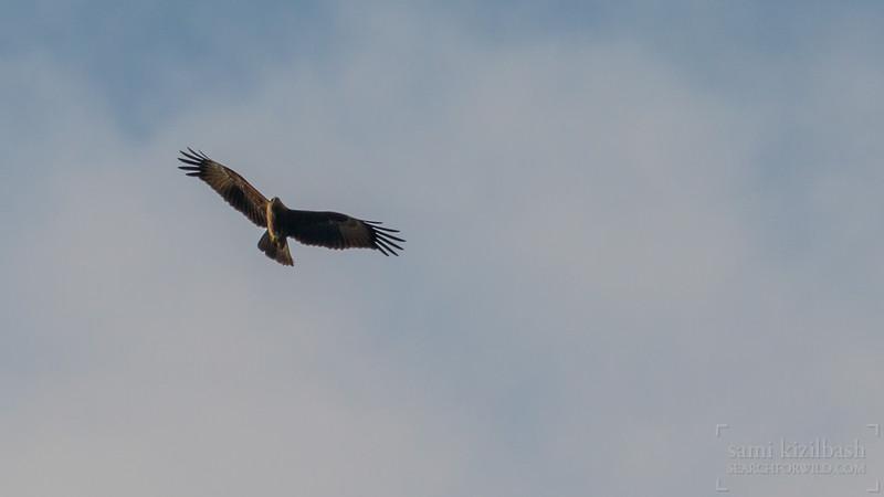 Black Kite.jpg