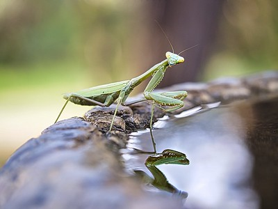 Bees Were No Problem For The Praying Mantis