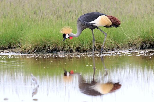 Grey Crowned Crane Tanzania 2009 2010 2016