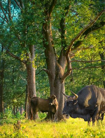 Twee taurossen een stier en een koe die dreigend kijken in de richting van het gevaar en het bos als ware het hun bastion bewaken tegen indringers.