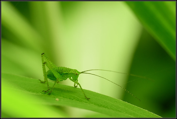 Stuiksprinkhaan/Speckled Bush-cricket