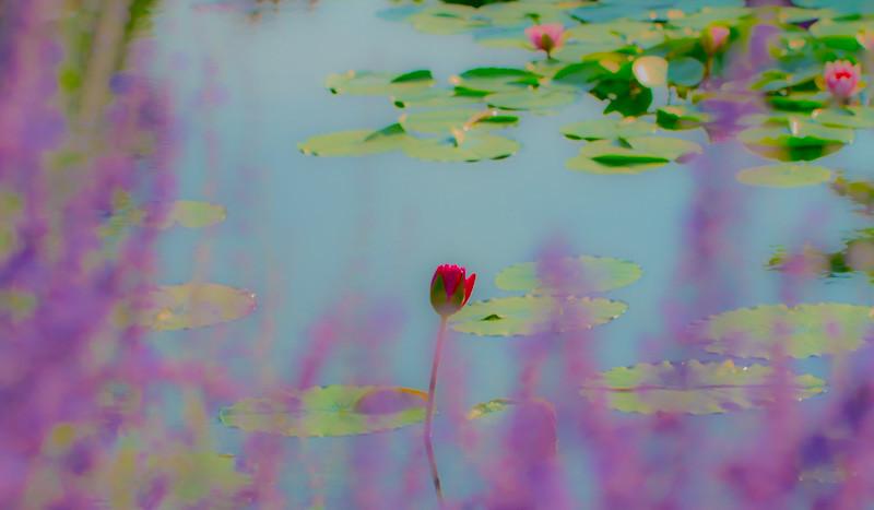 Lily  Pond 48
