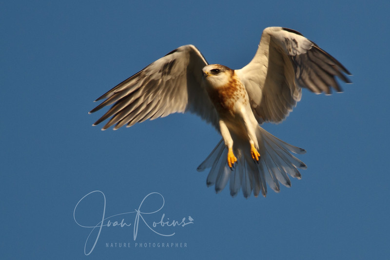 Contempo White-tailed Kite Family 2011