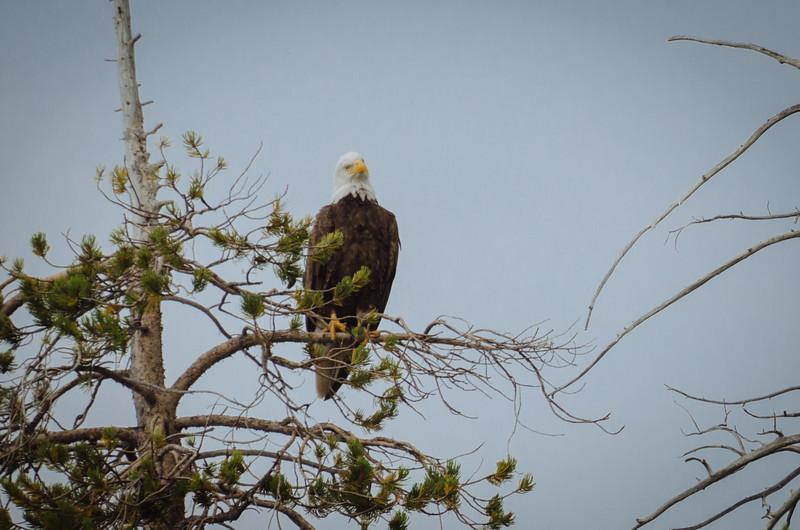 A bald eagle at Wrights Lake in Northern California.