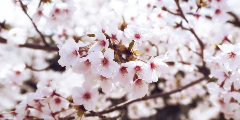 Cherry Blossoms Of Shiga City